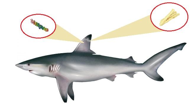 Colágeno en el tiburón
